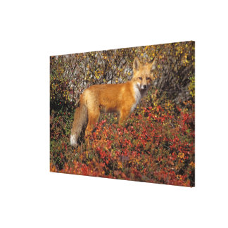 red fox, Vulpes vulpes, in fall colors along the 5 Stretched Canvas Print
