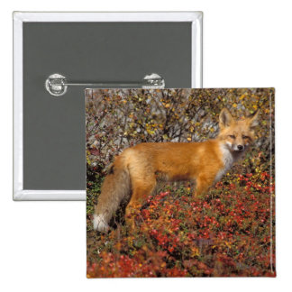 red fox, Vulpes vulpes, in fall colors along the 5 Pinback Button