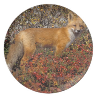 red fox, Vulpes vulpes, in fall colors along the 5 Plates
