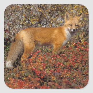 red fox, Vulpes vulpes, in fall colors along the 5 Square Sticker