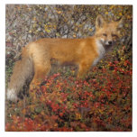 red fox, Vulpes vulpes, in fall colors along the 5 Large Square Tile
