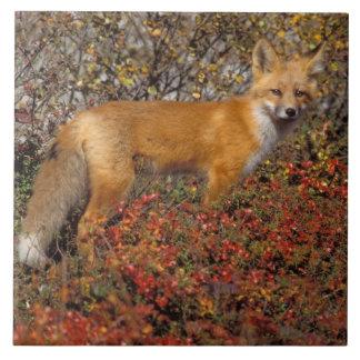 red fox, Vulpes vulpes, in fall colors along the 5 Tile