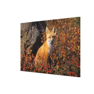 red fox, Vulpes vulpes, in fall colors along the Stretched Canvas Print