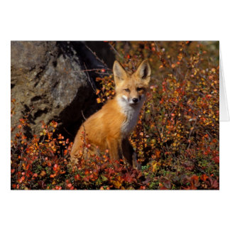 red fox, Vulpes vulpes, in fall colors along the Card