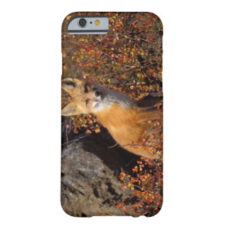 red fox, Vulpes vulpes, in fall colors along the iPhone 6 Case