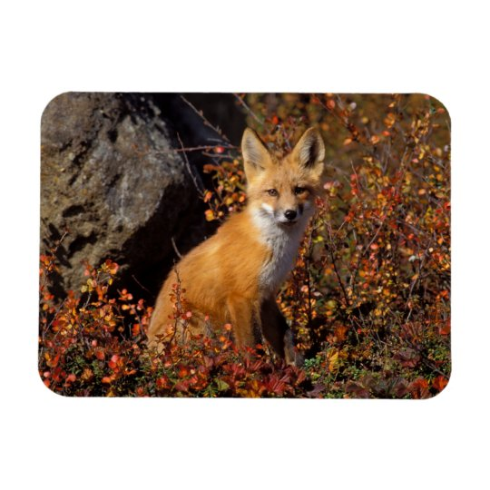 red fox, Vulpes vulpes, in fall colors along the Magnet