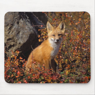 red fox, Vulpes vulpes, in fall colors along the Mouse Pad