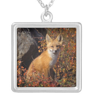 red fox, Vulpes vulpes, in fall colors along the Pendant