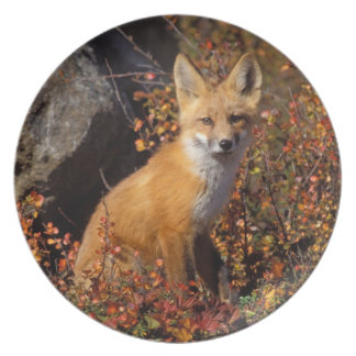 red fox, Vulpes vulpes, in fall colors along the Plates