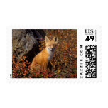 red fox, Vulpes vulpes, in fall colors along the Postage Stamps