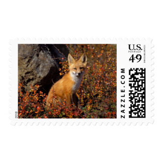 red fox, Vulpes vulpes, in fall colors along the Postage Stamp