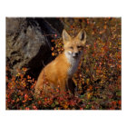 red fox, Vulpes vulpes, in fall colors along the Poster
