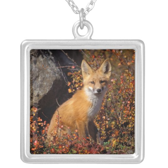 red fox, Vulpes vulpes, in fall colors along the Silver Plated Necklace