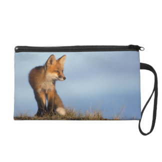 red fox, Vulpes vulpes, in the 1002 area of Wristlet Clutch