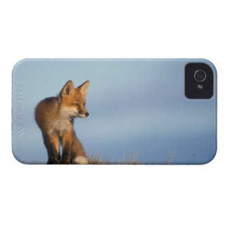 red fox, Vulpes vulpes, in the 1002 area of Blackberry Bold Case