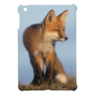 red fox, Vulpes vulpes, in the 1002 area of Cover For The iPad Mini