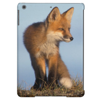 red fox, Vulpes vulpes, in the 1002 area of iPad Air Cover