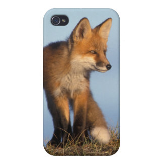 red fox, Vulpes vulpes, in the 1002 area of iPhone 4 Cover
