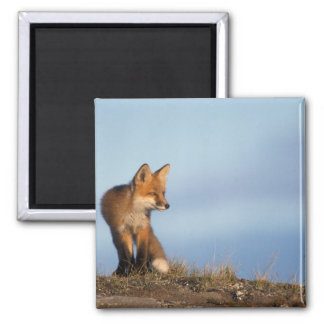 red fox, Vulpes vulpes, in the 1002 area of Refrigerator Magnet
