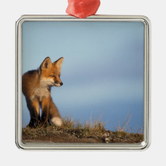 red fox, Vulpes vulpes, in the 1002 area of Square Metal Christmas Ornament