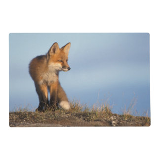 red fox, Vulpes vulpes, in the 1002 area of Placemat