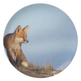 red fox, Vulpes vulpes, in the 1002 area of Plates