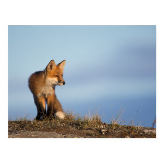 red fox, Vulpes vulpes, in the 1002 area of Postcard