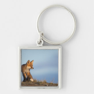 red fox, Vulpes vulpes, in the 1002 area of Silver-Colored Square Keychain