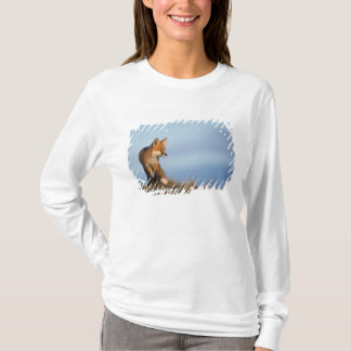 red fox, Vulpes vulpes, in the 1002 area of T-Shirt