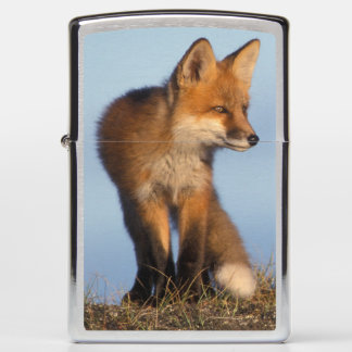 red fox, Vulpes vulpes, in the 1002 area of Zippo Lighter