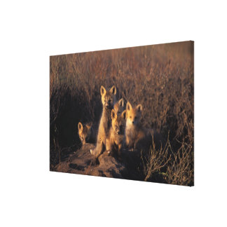 red fox, Vulpes vulpes, kits on their den in the Canvas Prints
