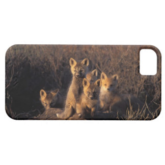red fox, Vulpes vulpes, kits on their den in the iPhone 5 Case
