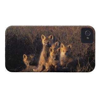 red fox, Vulpes vulpes, kits on their den in the Blackberry Bold Cases