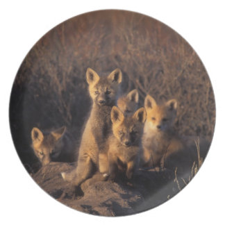 red fox, Vulpes vulpes, kits on their den in the Melamine Plate