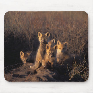 red fox, Vulpes vulpes, kits on their den in the Mouse Pad