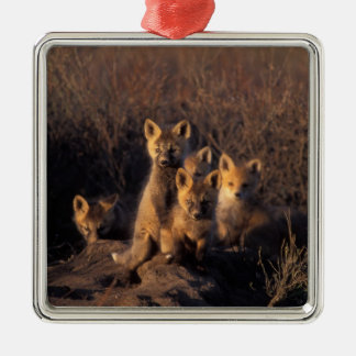 red fox, Vulpes vulpes, kits on their den in the Square Metal Christmas Ornament