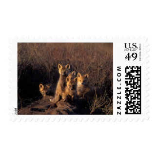 red fox, Vulpes vulpes, kits on their den in the Stamps