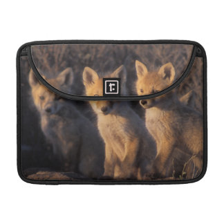red fox, Vulpes vulpes, kits outside their MacBook Pro Sleeve
