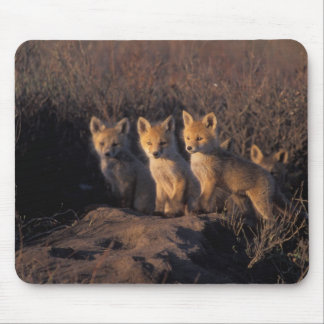 red fox, Vulpes vulpes, kits outside their Mouse Pad