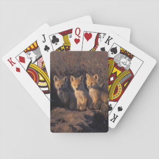 red fox, Vulpes vulpes, kits outside their Playing Cards