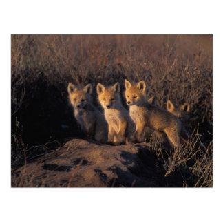 red fox, Vulpes vulpes, kits outside their Postcard