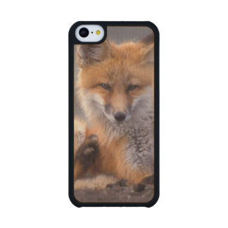 red fox, Vulpes vulpes, pup scratching itself, Carved® Maple iPhone 5C Slim Case