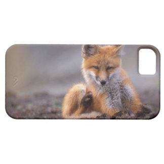 red fox, Vulpes vulpes, pup scratching itself, iPhone 5 Cases