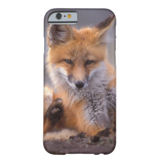red fox, Vulpes vulpes, pup scratching itself, iPhone 6 Case