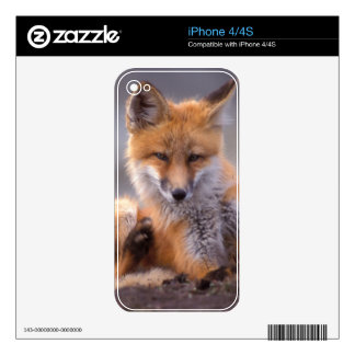 red fox, Vulpes vulpes, pup scratching itself, iPhone 4 Decals