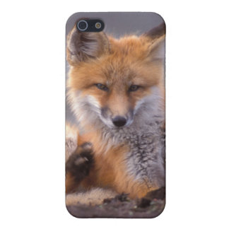 red fox, Vulpes vulpes, pup scratching itself, iPhone 5 Case