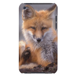 red fox, Vulpes vulpes, pup scratching itself, iPod Case-Mate Case