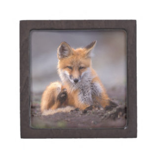 red fox, Vulpes vulpes, pup scratching itself, Jewelry Box