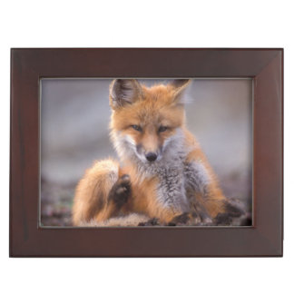 red fox, Vulpes vulpes, pup scratching itself, Memory Box