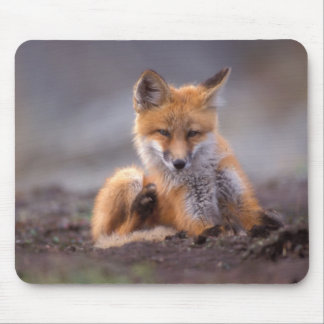 red fox, Vulpes vulpes, pup scratching itself, Mouse Pad